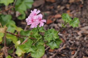 Back-yard Geraniums
