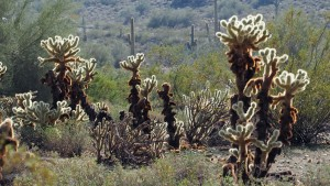 Cholla reaching out from the ground