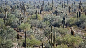 A Forest of Saguaro Cacti