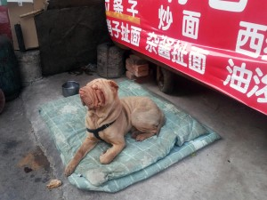 Shar Pei at the market