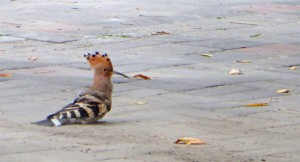 Hoopoe outside my door