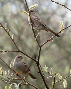 Yellow-crowned sparrows